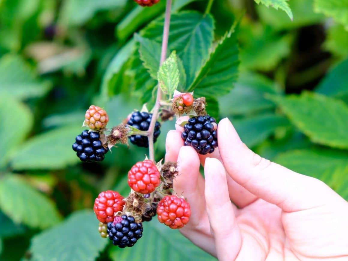 summertime bucket list ideas-go berry picking