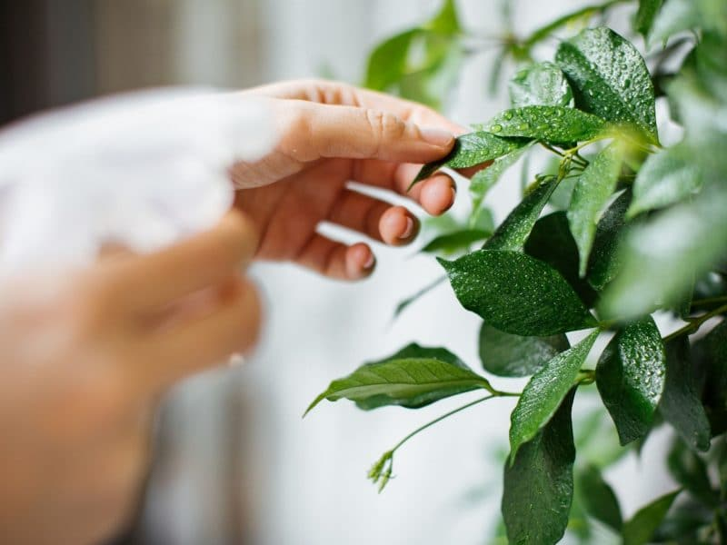 How to get rid of fungus gnats in houseplants forever!